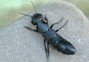 eu insekten ocypus tenebricosus dunkler raubk fer kurzfl gler k fer. Black Bedroom Furniture Sets. Home Design Ideas