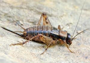 Grillen insekten